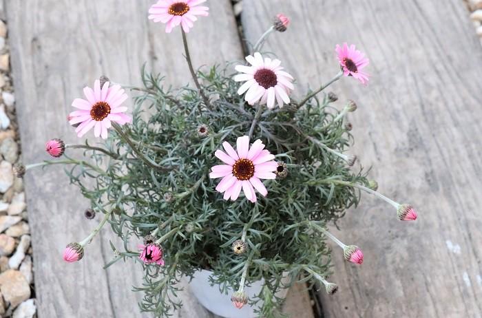 ローダンセマムの花期は3月~6月頃。シルバーがかった美しい葉から茎を伸ばした先に可愛い花を咲かせます。マーガレットに似ていますが、マーガレットと比べるとローダンセマムの方が寒さに強い特長があります。梅雨時や真夏の高温期に弱い点はマーガレットと同じで、夏を上手に越せると翌年も花を咲かせます。