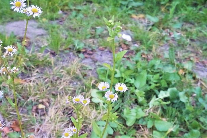 植物名:ヒメジョオン 学名: Erigeron annuus 科名、属名:キク科エリゲロン属 分類:越年草または多年草
