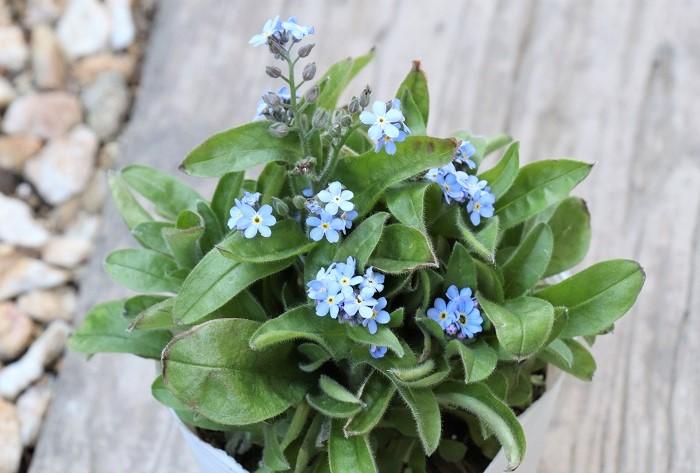 ワスレナグサ(忘れな草)は、3月~6月頃に可愛らしい小花を咲かせます。花色はブルーのほか、白やピンク色などがあります。