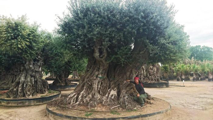 スペインでは、樹齢約2000年というほぼ紀元前に近い年齢のオリーブに出逢い、心を奪われた。実際にこの時の感動が今の植物貿易などの活動につながっていると言える。