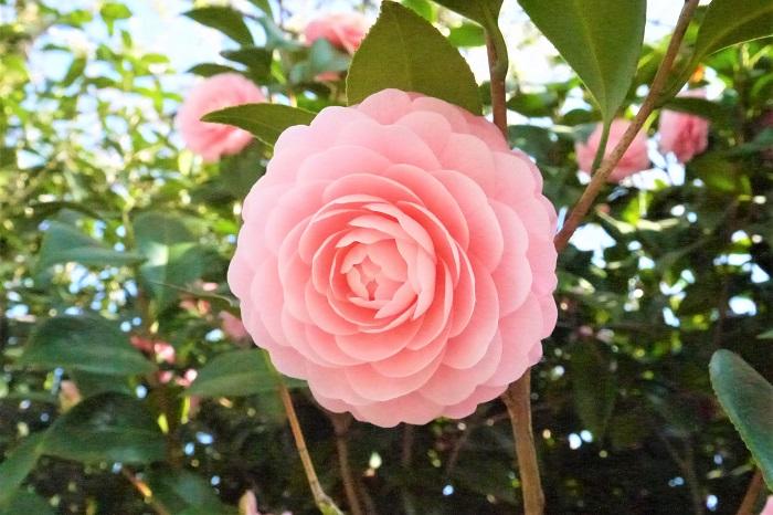 椿(ツバキ)の特徴 椿は日本の冬を代表するような常緑高木です。光沢のあるグリーンの葉が特徴的です。椿の花色はピンクの他に、赤や白、複色などがあります。