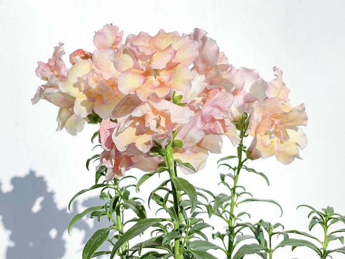 キンギョソウは花穂を大きく伸ばして金魚に似た色鮮やかな花を咲かせます。本来は4月~6月頃が開花の盛期で、夏の暑さに弱いため日本では一年草として扱われることが多かった植物です。品種改良により、秋にも咲くタイプやダークカラーの葉、斑入りの葉の品種も増えています。
