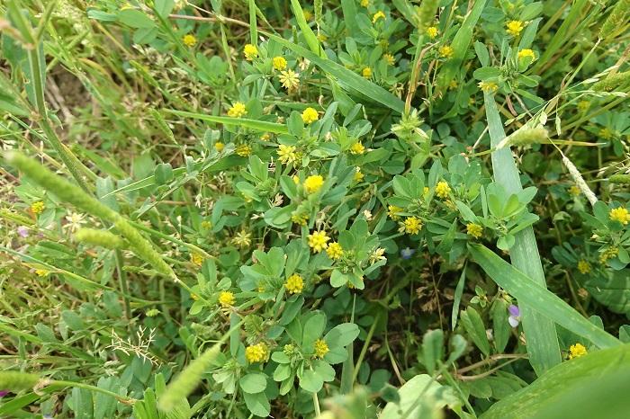 学名:Trifolium dubium 花期:3月~8月 コメツブツメクサの特徴 コメツブツメクサはとても小さな黄色の花を咲かせるクローバーです。道端や空地、土手など、身近な場所に咲いています。花径は5~7mm程度と非常に小さく、地面を這うように伸びていくので、気付かないこともあるくらいです。