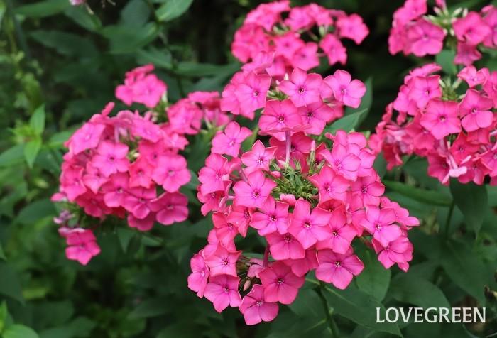 宿根フロックスは6月~10月に暑い夏も休みなく可愛い花を咲かせます。星の形をした花が咲くスターフロックスと呼ばれる品種もあります。暑さや寒さに強く、冬は地上部が枯れますが根は生きていて毎年花を咲かせます。