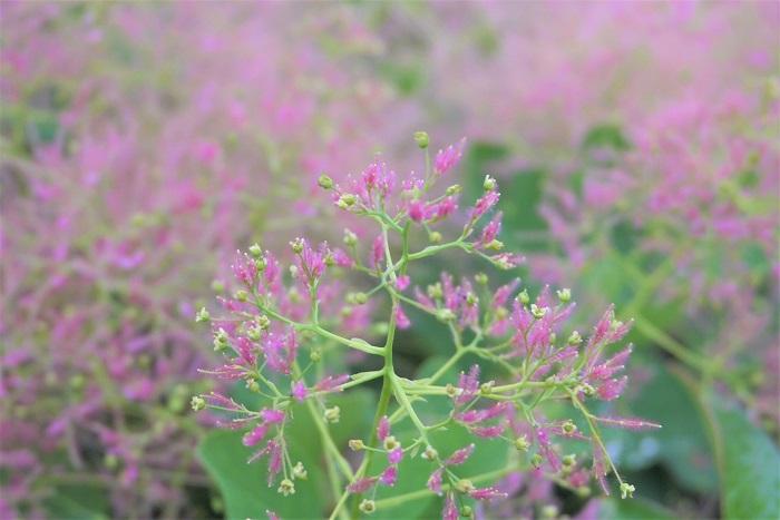 スモークツリーの特徴 スモークツリーは名前の通り、初夏に煙のような、または綿菓子のような花を咲かせる落葉高木です。スモークツリーの花色はピンクの他にグリーンがかった白があります。