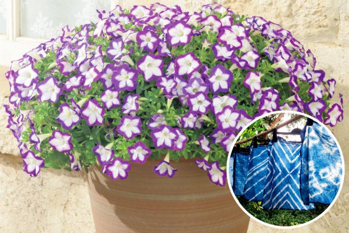 昨年登場した、日本の伝統技術「絞り染め」をイメージした「江戸しぼり」。涼しげでさわやかな花色のサフィニアアートです。日本の伝統色である藍色と絞り染めの風情が感じられるサフィニアアートですね。