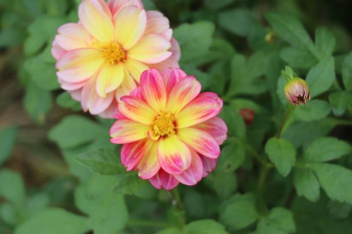 ダリアは7月~10月頃、華やかな花を咲かせます。非常に品種が多く、大輪、中輪、小輪、咲き方もポンポン咲きやカクタス咲きなど様々です。ダリアは半耐寒性の球根植物で、球根は少し変わった楕円形に近い細長い形をしています。ダリアの球根は植えっぱなしで凍らないように冬越し対策を行うか、球根を掘りあげて乾燥させて保管します。ダリアは切花としても人気があり、通年多くの品種が出回っています。