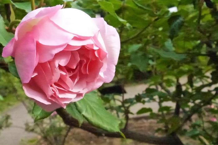 バラの特徴 バラは花の女王と呼ばれるほど、豪華で美しい花を咲かせる落葉低木です。木立性の他につるバラや半つる性などがあります。バラの花色はピンク以外に、白、黄、赤、紫、複色など、バリエーション豊富です。