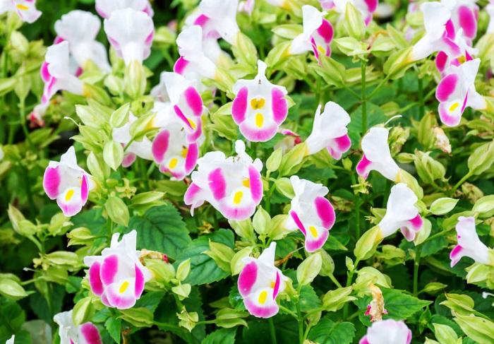トレニアは4月~10月頃、子つばめが口を開けたような小さな花が次々と咲きます。草姿は立性と、横に広がる匍匐性のタイプがあり、匍匐性のトレニアは目線の高い位置に飾ると美しさが引き立ちます。トレニアは基本的に一年草ですが、トレニア・コンカラーは多年草タイプです。多年草タイプでも寒さには弱いので、冬は室内で管理するなど冬越し対策が必要です。