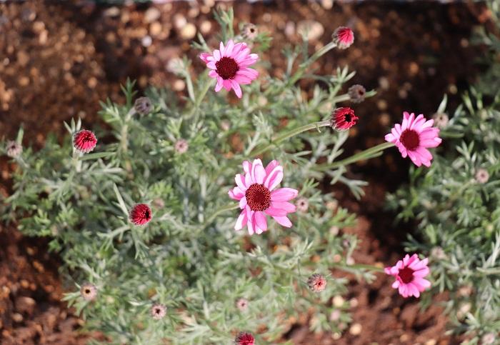 ローダンセマムは3月~6月、シルバーがかった美しい葉から茎を伸ばした先に可愛い花を咲かせます。マーガレットに似ていますが、マーガレットに比べて寒さに強い特長があります。梅雨時や真夏の高温期に弱い点はマーガレットと同じで、夏を上手に越せると翌年も花を咲かせます。
