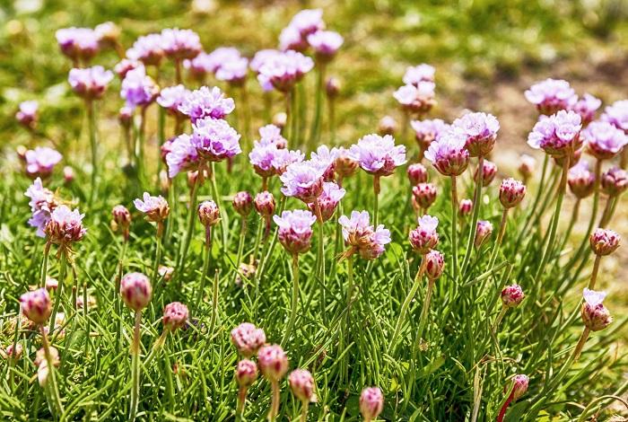 アルメリアは3月~5月頃、長い茎の先に小さな花がまとまってボール状に咲きます。常緑の糸のように細い葉がこんもりと茂る間からたくさんの花茎が次々と伸びて咲く姿が特徴的です。花を触ってみると少しカサカサしていてドライフラワーに近い感触がします。多湿は嫌いますが暑さ寒さに強く、日当たりが良ければよく育ちます。