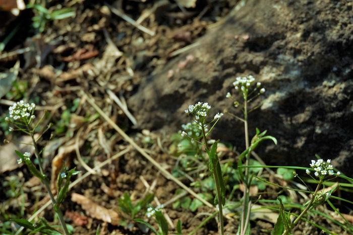 ナズナの名前の由来 ナズナの生の由来は、「愛でる草」という意味の「撫で菜」が変化してナズナになったという説があります。他に、ナズナが密集するように生えることから「馴染む菜」が転じてナズナになったとも言われています。  ナズナの小さな白い花が集まって咲いている様子は、確かに可愛らしくて撫でたくもなります。密生しているそれぞれがよく馴染んでいるようにも見えます。  ナズナの漢字の意味 ナズナは漢字では「薺」あるいは「薺菜」と書きます。薺の意味は、中国での名前そのままです。  中国ではナズナの花茎が立ち上がってくる前の冬の葉をスープや炒め物にして食べていたそうです。他にも漢方でも利用されています。
