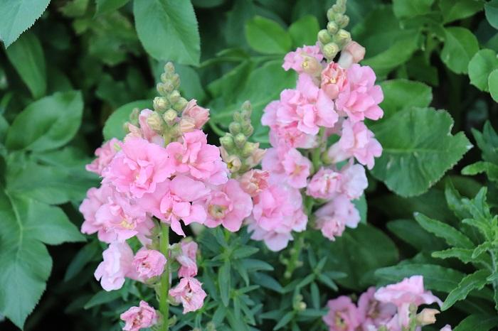 ストックは草丈が20~80cmほどで、優しい香りがします。すっとした花茎に穂状に花が咲きとても華やかです。11月~4月頃まで開花期が長く、香りも同じように長く続きます。高さを出したい時に使いやすい花苗です。一重咲きから八重咲きまであります。夏の暑さに弱いため、日本では一年草として扱われています。