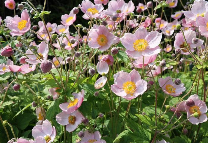 シュウメイギク(秋明菊)は9月~11月頃にアネモネに似た形の花を咲かせます。菊という漢字がついていますが、キク科ではなく、アネモネと同じキンポウゲ科の仲間で、菊とは全く関係ありません。シュウメイギク(秋明菊)は切り花として華道の素材や秋の茶花としても用いられます。一重咲きの他、八重咲のものや背が低いタイプもあります。