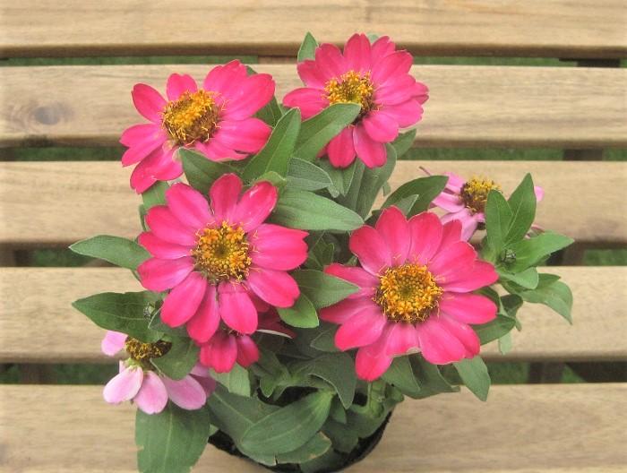 ジニアは5月~11月頃まで、暑い時期にも花が休むことなく咲き続ける一年草。ジニアはたくさんの種類があり、背が高いもの低いもの、花のサイズも超大輪、大輪、中輪、小輪と色々あります。咲き方もポンポン咲き、カクタス咲き、ダリア咲きなどとても多様です。