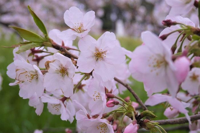 学名:Prunus x yedoensis 科名:バラ科 分類:落葉高木 開花期:3月~4月 ソメイヨシノの特徴 ソメイヨシノは桜の中でも最も愛されている品種です。私たちが春の桜の開花を心待ちにしてお花見を楽しんでいるのは、このソメイヨシノです。薄桃色の花びらは風で散ってしまうほど儚く可憐で、その散り際の美しさもソメイヨシノ魅力となっています。