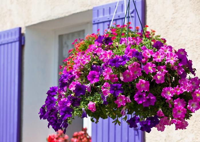 ペチュニアの花期は3月~11月頃。花期が長く、上手に剪定すると枝分かれしてたくさんの花を咲かせることができます。一重咲きや八重咲きなど咲き方も様々で、花の大きさも大輪から小輪とあります。ペチュニアは本来多年草でありながら寒さに弱いため一年草扱いされていることが多いですが、暖地では霜にあたらないように注意すれば戸外で冬越しさせることもできます。