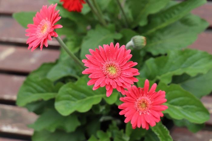 ガーデンガーベラ(宿根ガーベラ)の花期は4月~11月頃。ガーデンガーベラ(宿根ガーベラ)は普通のガーベラに比べて暑さや寒さ、病害虫にも強く改良された品種です。強い霜に当たらなければ越冬することができます。冬にも水やりを続け、春に枯葉を取って株元にたくさん日を当ててあげると、新芽が出て再び花が咲きます。
