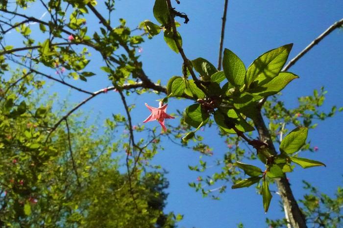 ウグイスカグラの特徴 ウグイスカグラは日本の山野に自生しているスイカズラ科の落葉高木です。春に小さなピンク色の花を咲かせます。ウグイスカグラの花はよく見るとラッパのような形をしています。