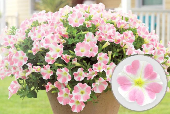サフィニアアートで圧倒的な人気を誇る「ももいろハート」。 淡いピンクのハートの形をした花模様がカワイイいと、SNSでも話題となっている大人気のお花です。