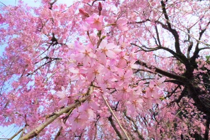 シダレザクラの特徴 シダレザクラはエドヒガンの枝が柳のように枝垂れているもののことをいいます。イトザクラとも呼ばれます。中でもベニシダレと呼ばれる品種はピンク色が濃く、とても鮮やかです。