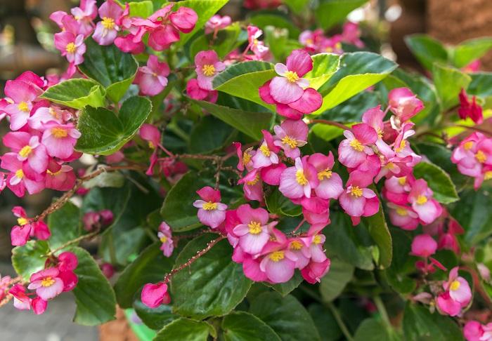 ベゴニアは、4月~10月頃小さな可愛い花を次々と咲かせます。直接雨が当たらない風通しの良い日なた~半日陰を好み、真夏の直射日光は苦手です。寒さに弱く、日本の気候では一年草として扱われていますが、寒くなる前に室内の明るい場所に移動させると翌年も楽しめます。挿し木で増やすことができます。