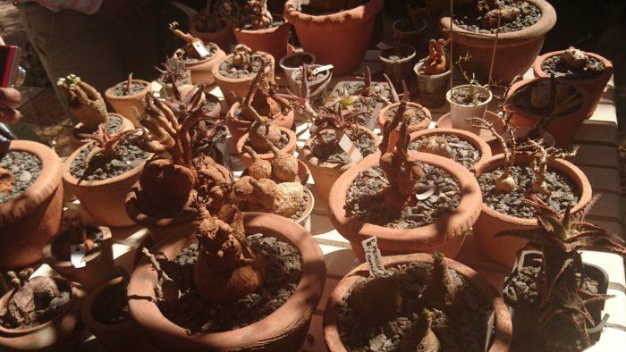 このナーセリーの特徴は、各地から集めてきた植物を自社ナーセリーにて仮植えして、発根したものから輸出する手順を踏んでいて丁寧な仕事をしているのが印象的であった。
