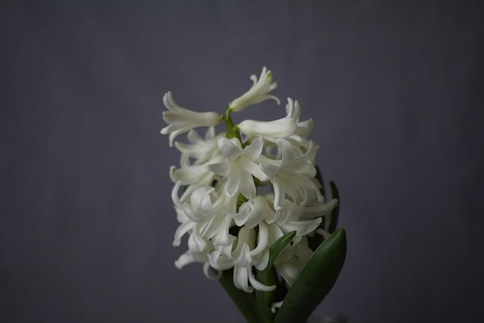 学名:Hyacinthus orientalis 科名、属名:キジカクシ科(ユリ科とされることもある)ヒヤシンス属 分類:球根性多年草 ヒヤシンスの特徴 ヒヤシンスは香りの良い花を咲かせる球根植物です。水耕栽培で花を咲かせることも容易で、室内で香りの良い花を楽しむことができます。  ヒヤシンスとは本来、地中海沿岸からアフリカ、ヨーロッパ、中央アジアなどにおよそ3種が分布しています。中でも地中海沿岸地域に分布する耐寒性の強い種が園芸用として流通しています。