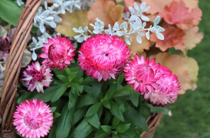ヘリクリサムの花期は6月~10月頃。花びらには水分が少なくドライフラワーのようにカサカサとした独特の感触をしていて、美しい光沢があります。ドライフラワーとしても人気があります。オーストラリア原産で自生地では低木のように育つ多年草ですが、寒さや高温多湿に弱いので日本では一年草として扱われることも多い植物です。麦藁菊(ムギワラギク)という和名は、乾燥した花びらの様子が麦わらに似ているため付けられました。