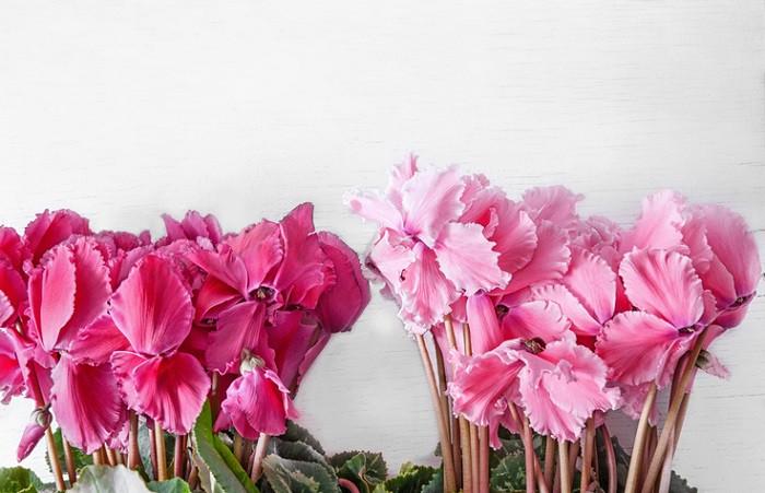 シクラメンは10月~4月頃、葉の中央から細い茎を伸ばして花を咲かせます。冬に室内で楽しめる代表的な花鉢で、よくお歳暮や贈答用に用いられます。咲き方はスタンダードなタイプの他、フリンジ咲きや八重咲きなど多様あります。最近は香りが楽しめる品種も注目されています。暑さと寒さに弱く、ガーデンシクラメンと比べるとデリケートな性質です。