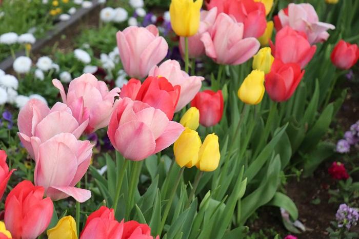 チューリップは3月~5月上旬頃に花を咲かせる球根植物。開花時期は種類によって異なり、大きく分けると早咲き、普通咲き、遅咲きの3種類があります。草丈は種類によって違い、ユリ咲き、パーロット咲き、フリンジ咲き、八重咲きなど様々な咲き方があります。交配種のチューリップの球根は、二年目以降は充実した花を咲かすことが難しいので毎年球根を購入するのが一般的です。原種のチューリップは2~3年植えっぱなしでもよく咲きます。