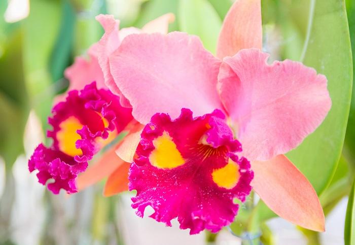 カトレアは華やかで美しい花を咲かせ、洋ランの女王とも呼ばれています。春咲き、初夏咲き、秋咲き、冬咲きタイプがありますが、最もポピュラーなのは、12月~2月に咲く「冬咲き」タイプと言われています。本来は森に自生し、木に根を下ろし着生して育つ着生植物です。カトレアは様々な種類がありますが、どの品種も比較的温暖な気候と日当たりを好みます。最低気温10℃くらいを保ち、日光のあたる場所で栽培すると元気よく生長します。
