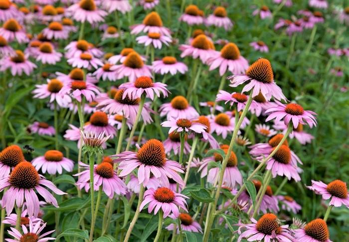 エキナセアは花の中心が栗のイガのように丸く、細長い花びらをもつ存在感のある花を咲かせます。花期は6月~10月頃。切り花やドライフラワーとしても人気があります。エキナセアはハーブティーとしても使われていますが、出回っているエキナセアは観賞用として作られています。ハーブとして飲食用に使う場合は、ハーブショップなどで品種を確認して購入しましょう。