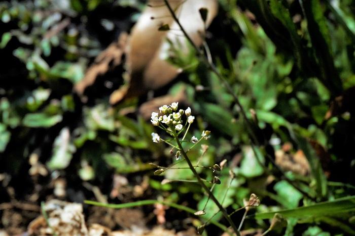 学名:Capsella bursa-pastoris 科名、属名:アブラナ科ナズナ属 分類:越年性一年草 ナズナの特徴 ナズナは春に小さな白い花を咲かせるアブラナ科の越年草です。越年草とはグリーンの葉を地上に出した状態で越冬する植物のことを言います。ナズナもタンポポやレンゲと同じく、寒い冬の間もグリーンの葉を出して過ごします。  ナズナの葉はロゼットで、地面に張り付いてるかのように、平たく放射状に伸びます。その様子はタンポポの葉に似ています。ナズナの葉にはギザギザとした切れ込みがあり、その様子もタンポポとよく似ています。  ナズナは葉の中心から細い茎を伸ばし、その先に小さな花を咲かせます。ナズナの茎の途中にある小さな三角形の葉のように見えるものは葉ではなくナズナの種です。