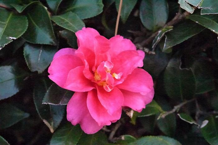 サザンカの特徴 サザンカはツバキによく似た花を咲かせる常緑低木です。椿よりも耐寒性が強く、秋から初春まで花を咲かせます。サザンカの花色は、濃いピンクから淡いピンクまであります。