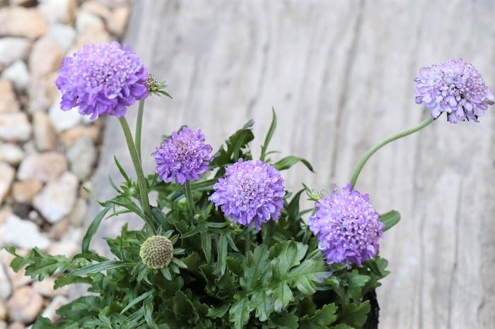 スカビオサ(松虫草)は寒さに強く、3月~6月頃まで優しい印象の丸い花を次々に咲かせます。花色は薄紫、紫、赤、白、ピンクなどがあります。