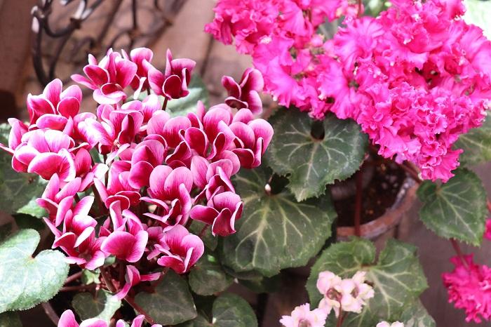 ガーデンシクラメンの花期は10月~4月頃。室内用のシクラメンを品種改良してつくられたため耐寒性があり、寒い冬も屋外で楽しむことができます。一重咲き、八重咲き、フリル咲きなどバリエーションが豊富で、シクラメンよりも株がコンパクトです。