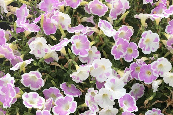 「いちごシェイク」は、肥料の状態と温度によって、シェイクが溶けて混ざっていくように花色が変化していくのも魅力!微妙な花色の移り変わりを楽しめます♪