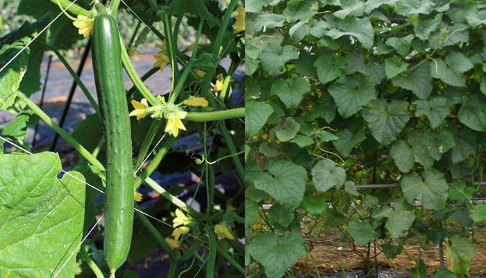 名前の通り、抜群の耐病性と真夏の暑さにも優れ家庭菜園のための能力を追求したサントリー本気野菜シリーズNo.1の自信作!特に、家庭菜園初心者の方に、一度は育てて収穫の喜びを知ってもらいたいキュウリです。