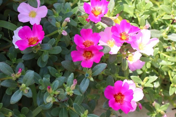 ポーチュラカは5月~10月頃、小さな可愛い花を次々と咲かせて這うように広がります。多肉質の葉と茎を持ち、暑さや乾燥に強い性質があります。寒さに弱いので一年草扱いされていますが、挿し芽で簡単に増やすことができます。葉に斑が入っている品種もあります。