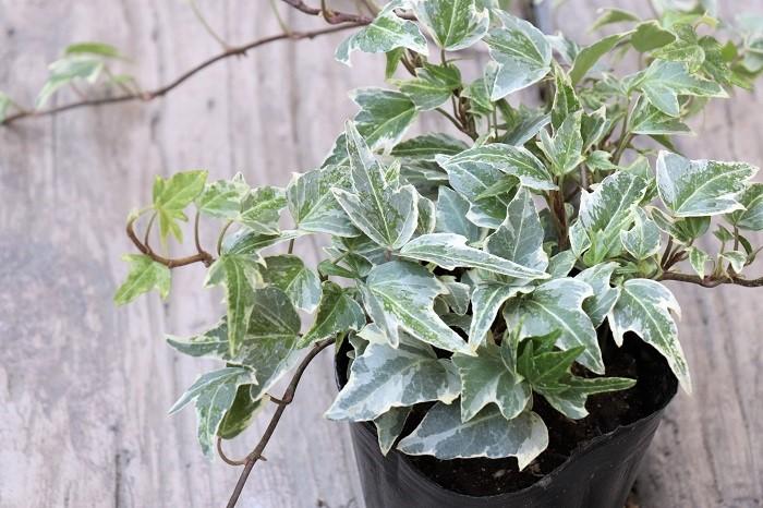 アイビーは常緑のツル性植物です。葉の色や形、大きさが様々ありますが、白い斑が入っているタイプは寄せ植えの株元を上品に明るく彩り、動きを出すアクセントに使いやすいのでおすすめです。