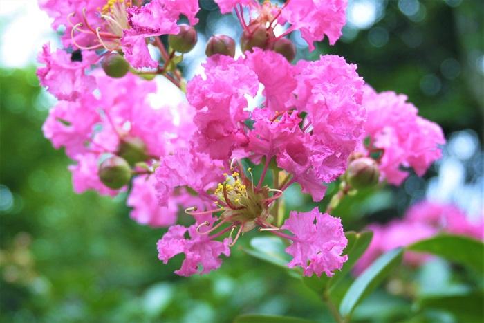 サルスベリ(百日紅)の特徴 サルスベリは漢字で「百日紅」と書くくらい、開花期間の長い落葉高木です。その幹がサルも滑り落ちるくらい滑らかだということから、サルスベリと名付けられました。花色はピンクの他に、白、赤、紫などがあります。
