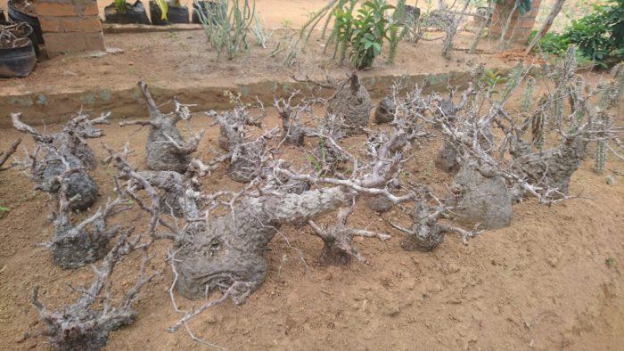 また別のナーセリーを訪問。その豊富な希少植物の量は圧巻である。