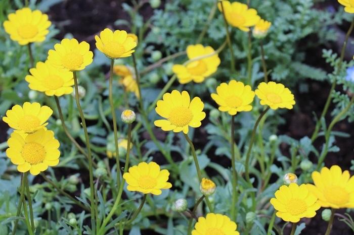 クリサンセマム・ムルチコーレは這うように低く広がって育ち、3月~5月頃に明るい黄色の小花をたくさん咲かせます。花は一重咲きで丸みを帯びたカップ状の可愛いフォルムをしています。寄せ植えに明るいイエローをプラスしたいときに使いやすい花です。