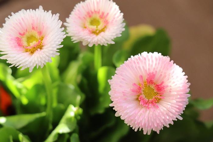 デージーは11月~5月頃、可愛い八重咲きの花を咲かせます。夏の暑さに弱いため、日本では一年草として栽培されています。デージーは、光を受けたときに花が開いて黄色い花芯を見せる性質があります。