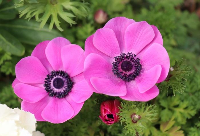 アネモネは、まだ花の少ない2月下旬~5月頃まで華やかな花を次々咲かせます。一重咲き、半八重咲き、八重咲きなど咲き方も様々で切り花としても大変人気があります。毎年のように新しい品種が出ています。休眠期は掘り上げて管理するタイプの球根ですが、鉢植えのまま水やりをストップして乾燥状態で夏越しさせる方法もあります。