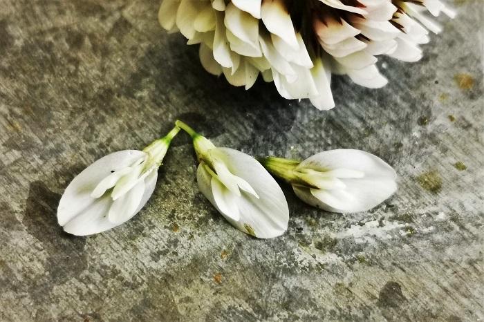 クローバーの花は一つの花のように見えますが、小さな花が集まってできた集合体です。小さな花のかたまりは、ふわふわのウサギのしっぽのようで可愛らしく見ていて飽きません。  丸いクローバーの花のかたまりから、小さな花を取り出してみました。一つ一つの花をよく観察すると、マメ科特有の蝶形花と呼ばれる蝶のような形をしています。一つの花は直径5mm前後、この小花が何十個と集まって、直径2~3㎝のクローバーの花を作っています。