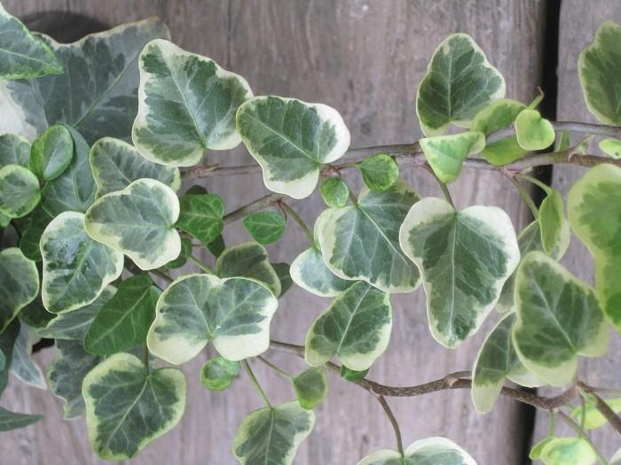 このアイビーは葉の縁が丸いタイプで、優しい印象を与えます。逆に、葉がとがっているタイプはシャープな印象をつくることができます。