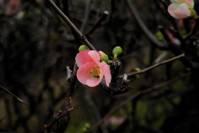 ボケ(木瓜)の特徴 ボケは初春にウメに似た可愛らしい花を咲かせる落葉低木です。花の後に洋梨のような果実を実らせますが、食用にはできません。ボケの花色はピンクの他に、白、赤、複色があります。