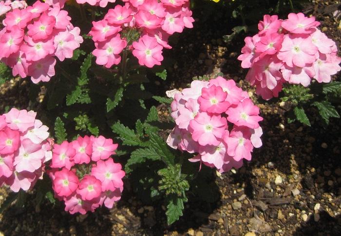 バーベナは4月~11月頃まで長い期間花を咲かせます。小さな花が集まり丸い花姿になってこんもりと咲く特徴がとても可愛いです。耐寒性がなく一年草扱いのものと、比較的耐寒性があって多年草となる品種があります。草姿についても、匍匐性のタイプや立性のタイプなどそれぞれ異なります。